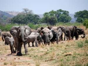 trip201_8_tansania_ruaha_elefanten