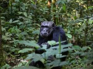 trip195_3_uganda_schimpanse