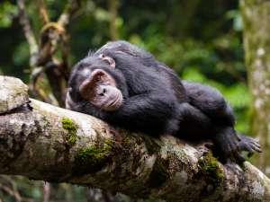 trip194_1_ruanda_schimpanse