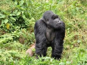 trip193_6_ruanda_gorilla