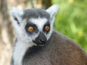trip190_4_madagaskar_lemure
