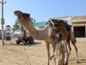 trip89_Indien_Kamel_stehend