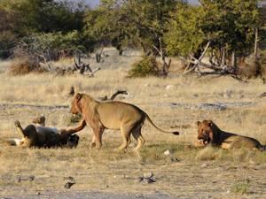 trip324_namibia_loewe_pb