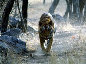 trip326_Indien_Tiger at Ranthambore_ia