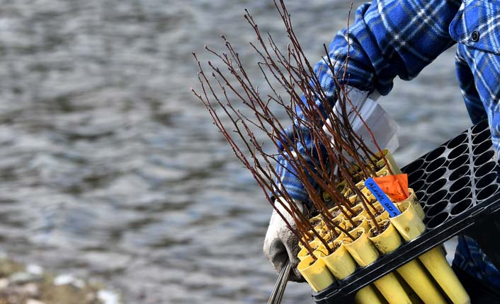 Speckled alder seedlings ready to plant at Five Valleys' Rock Creek Confluence Property. Photo by Kurt Wilson and the Missoulian.