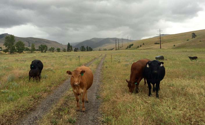 The Oxbow Cattle Company's residents on a cloudy spring day.