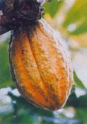 Cacao Nacional Fino de Aroma