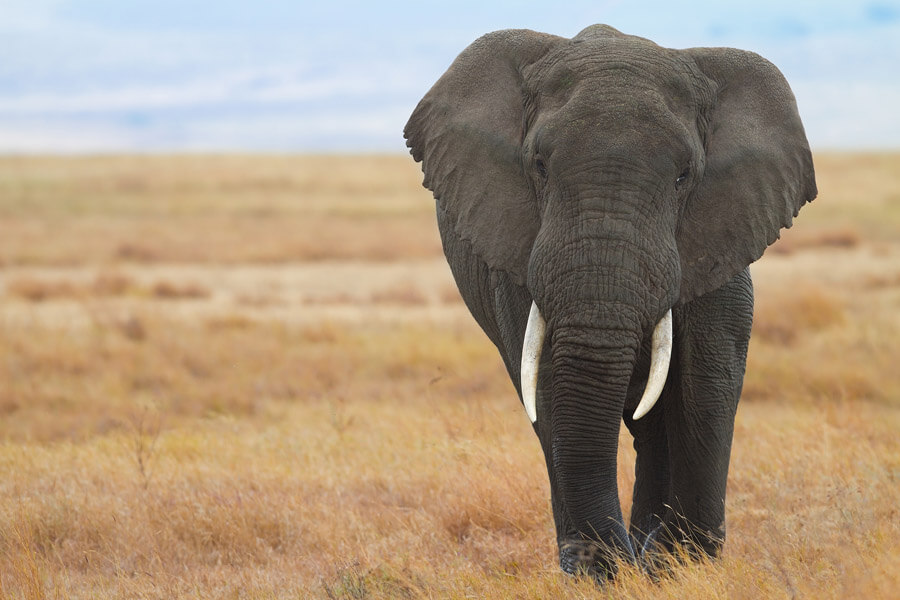 Elephant-Conservation-Is-Important-Mole