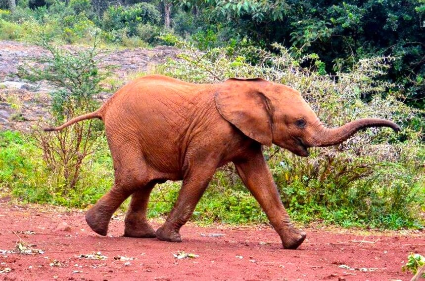 Elephant-Conservation-Is-Important-Sheldrick