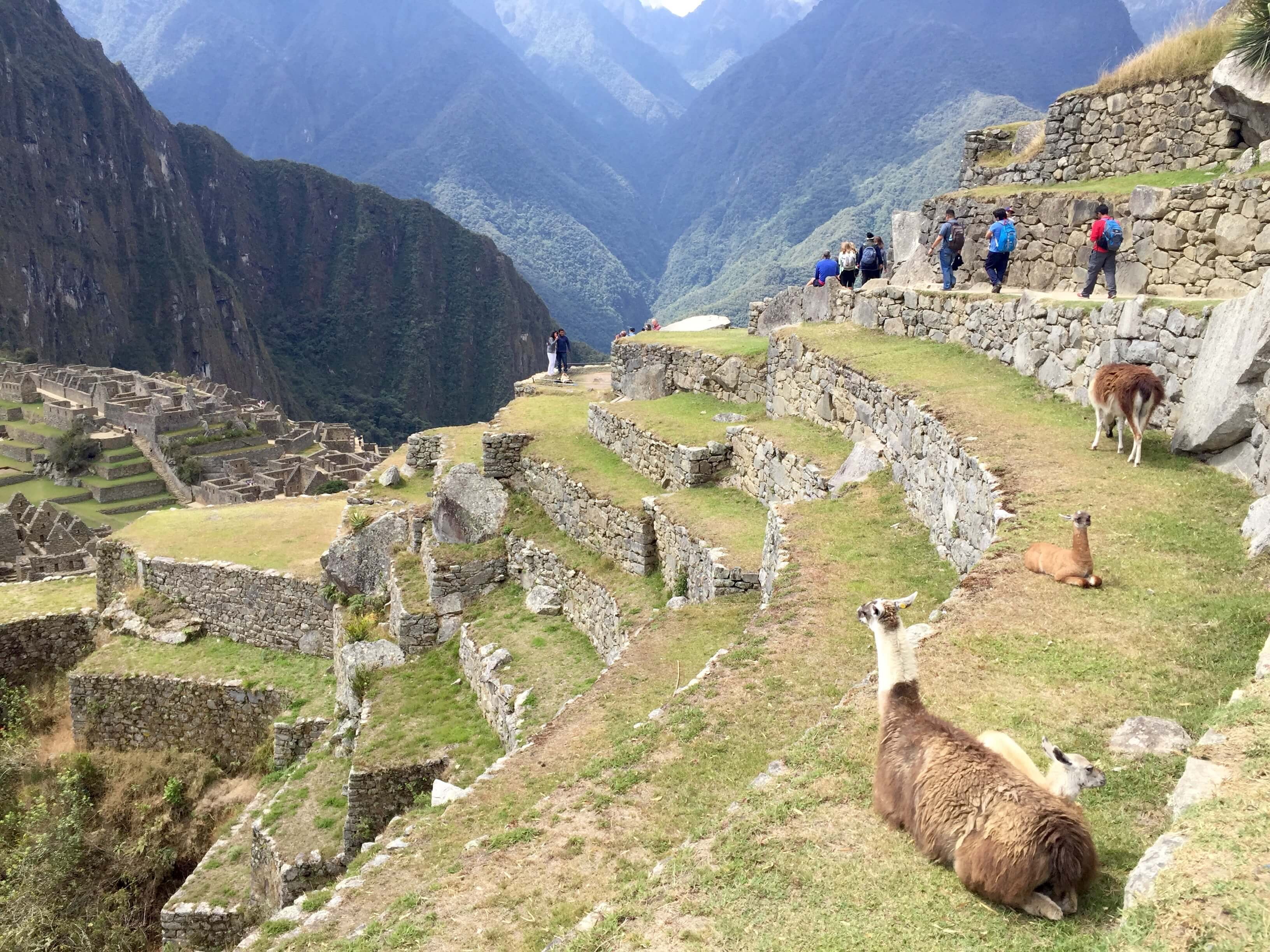 blog-10-facts-machu-picchu-llamas-on-terrace