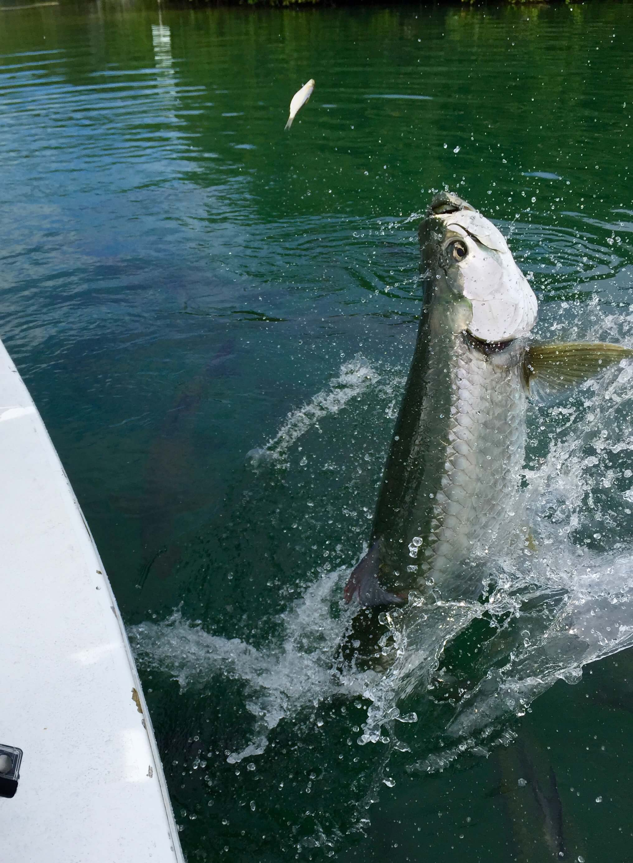 things-to-do-in-caye-caulker-fishing-tarpon-fish