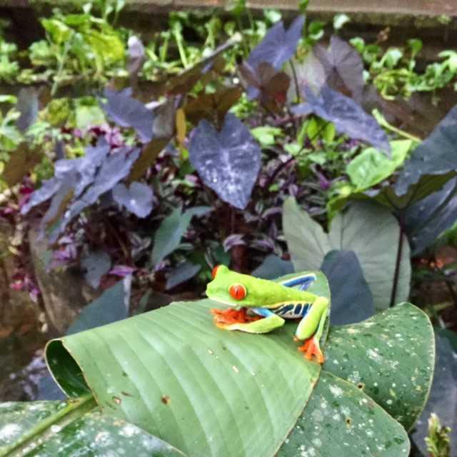 arenal-observatory-frog