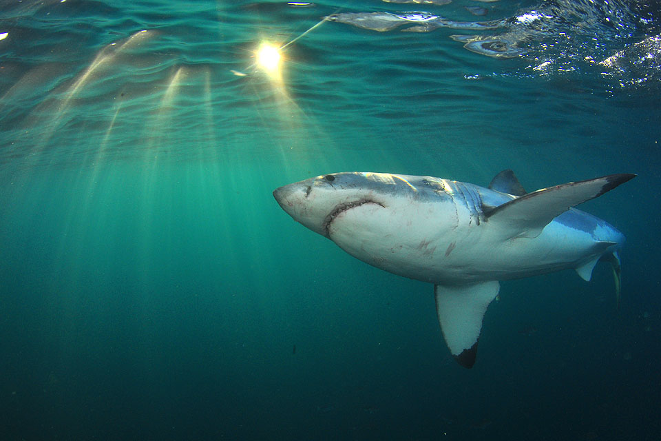 an introduction to the nature of great white sharks Sharks that prefer the open ocean are called pelagic sharks and include the notorious great white while humans tend to interfere with nature's equilibriums.