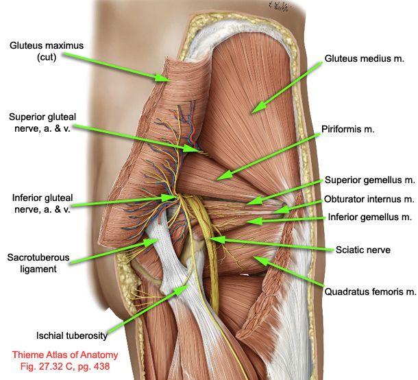 Anatomie et piriforme syndrôme du piriforme