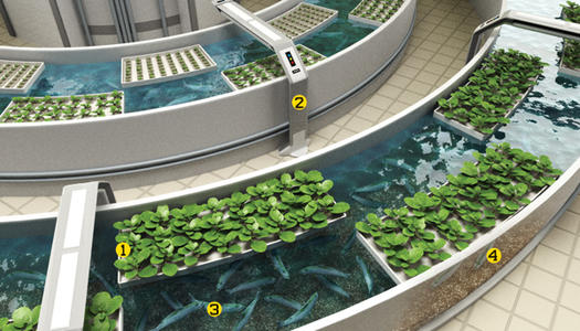 Fish are often a secondary product produced by urban hydroponic growers