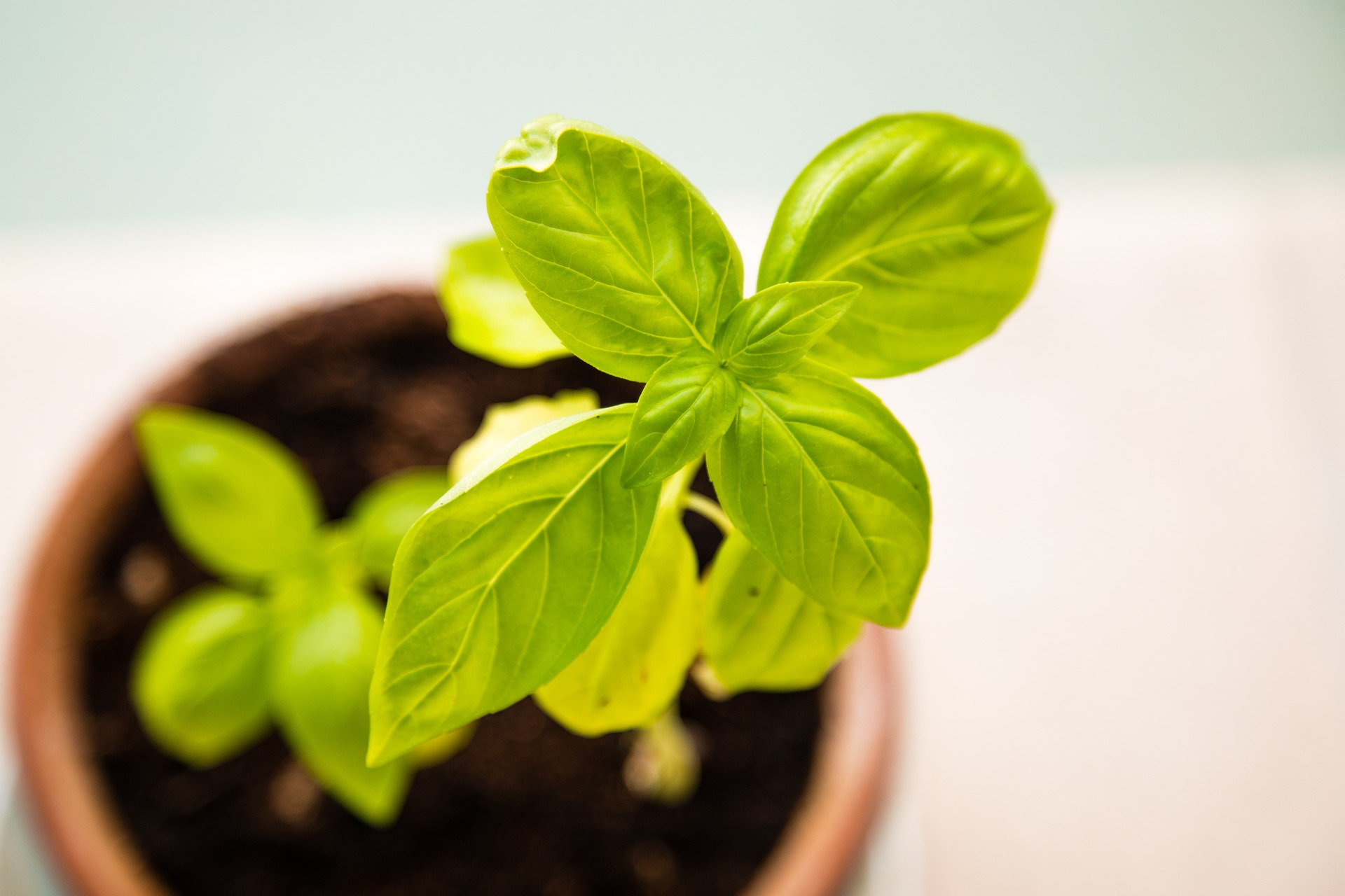 11 top secret hacks for beginning urban farmers to grow better basil plants
