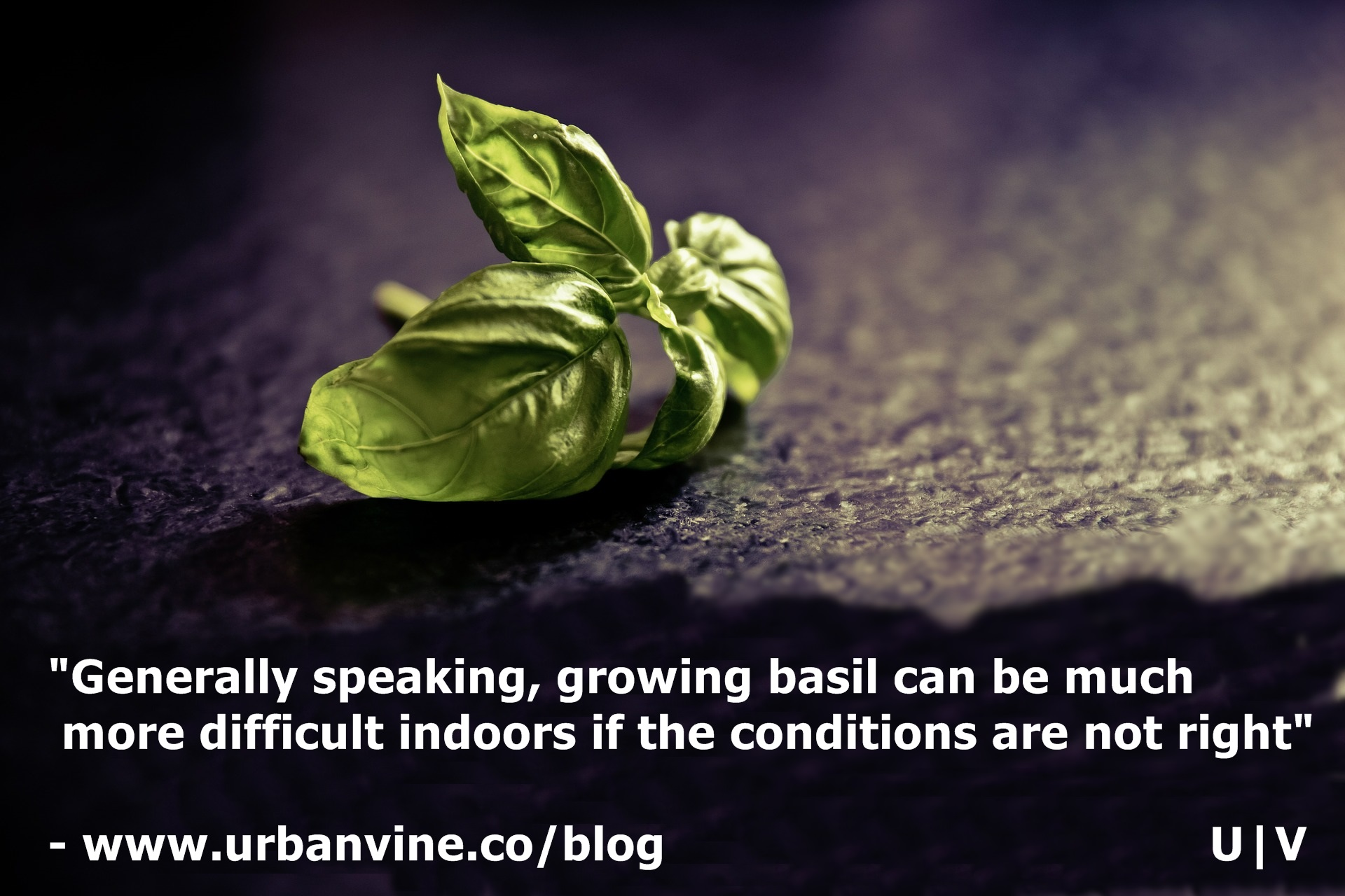Growing basil completely indoors is challenging. One alternative for urban growers is to grow part i