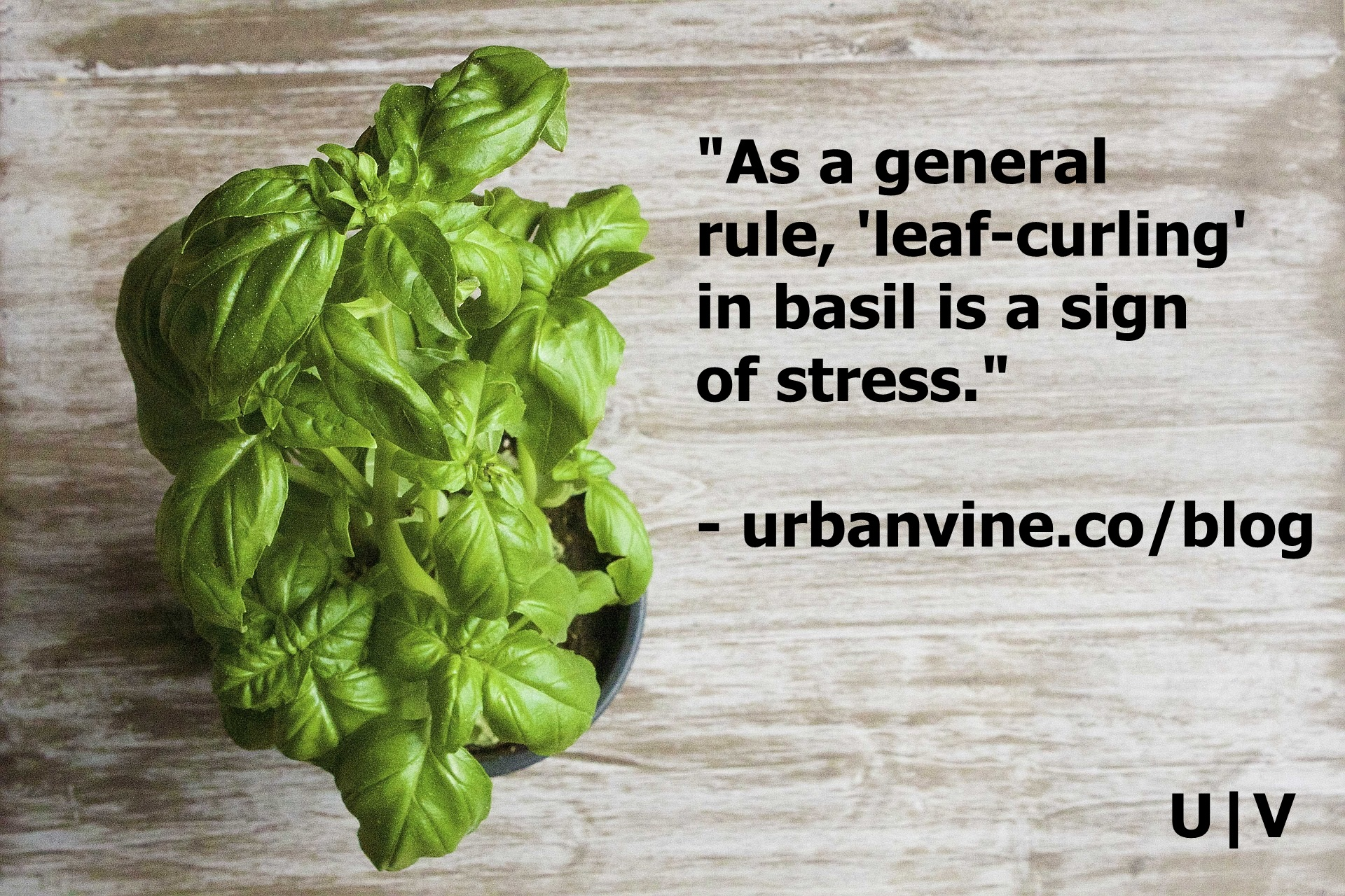 Leaf curling is a sign of stress in basil, which often times is triggered by overheating.