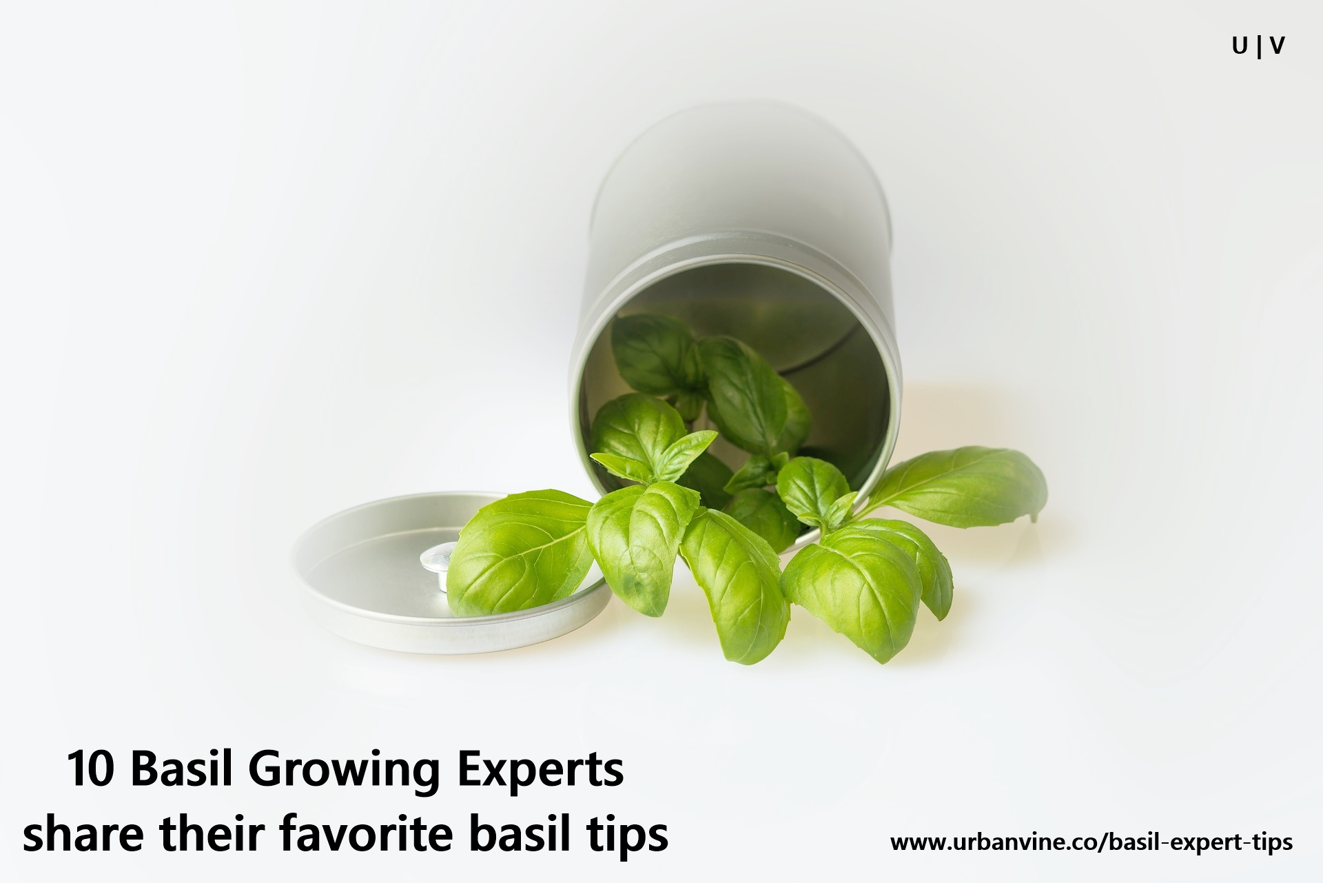 Are you missing the basics? 11 Basil Growing Experts share tips to grow better basil
