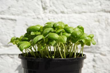 You may not want to rely on daylight when indoor growing greens, especially in the winter