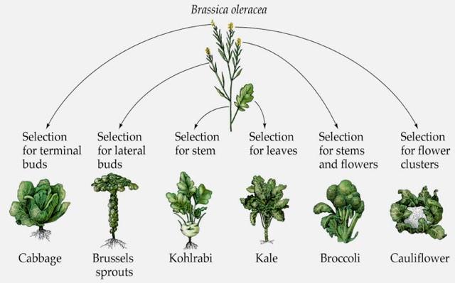 Types of Brassica
