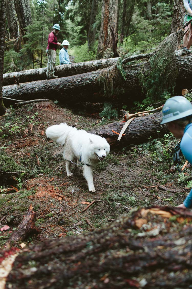 Samoyed on the Pacific Crest Trail
