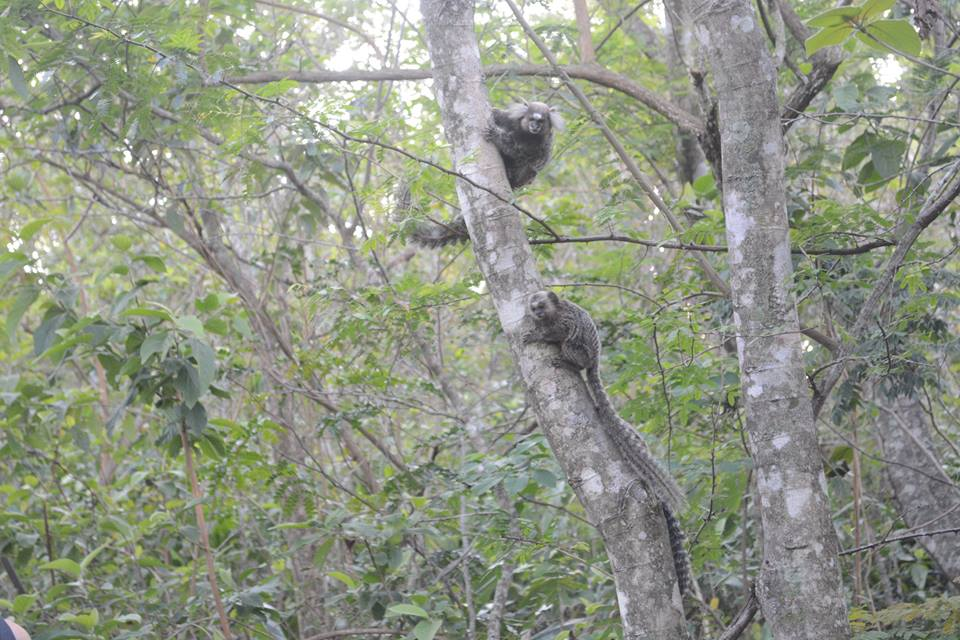The monkeys you find on the trees when hiking up Dois Irmãos Mountain