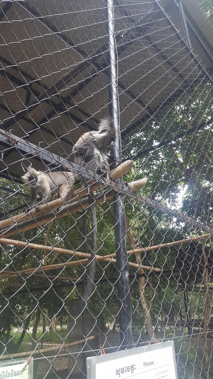 Monkey in cage at Phnom Tamao Wildlife Rescue Center (Phnom Penh)