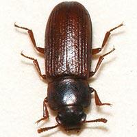 Rhode Island Flour Beetle Control