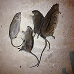 Rhode Island Rat Control and RI Exterminating