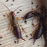 Rhode Island Earwig Exterminating