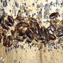 Bed Bug Control in Rhode Island