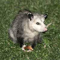 Rhode Island Opossum Exclusion