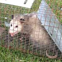 Rhode Island Opossum Havahart Live Animal Trap