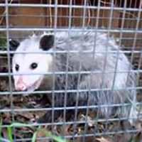 RI Opossum Havahart Live Animal Trap