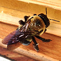 RI Carpenter Bee Control