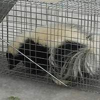RI Skunk Control and Humane Trapping