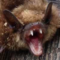 Bat Control in Rhode Island