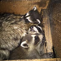 RI Raccoon Removal and Safety Service