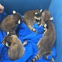 Raccoon trapping in Rhode Island