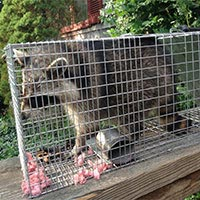 Rhode Island Humane Baby Raccoon Removal