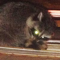 Raccoon Trapping and Exclusion in RI