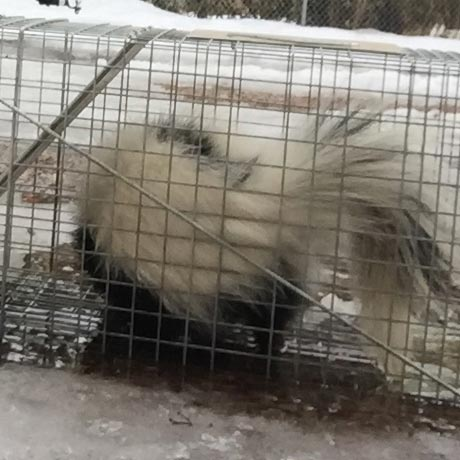 Traps for Skunks