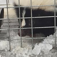 Rhode Island Skunk Elimination