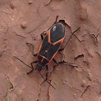 Rhode Island Box Elder Bug Control