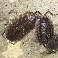 Rhode Island Sow and Pill Bug Control