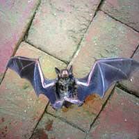 Brown Bat Showing Wings