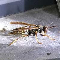 Wasp Exterminator in Rhode island