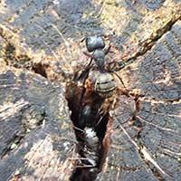 Carpenter Ant Control in RI