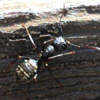 Carpenter Ant Elimination in RI